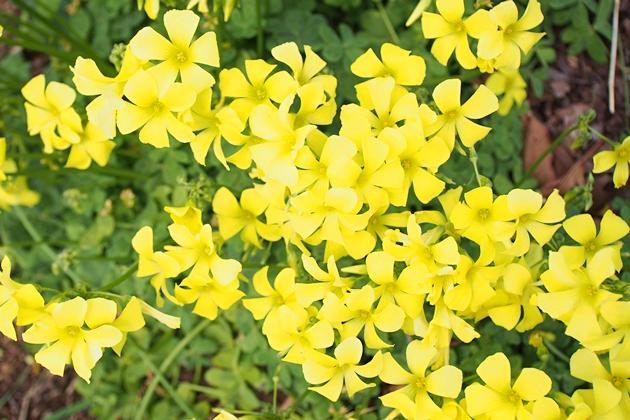 黄色いカタバミの花