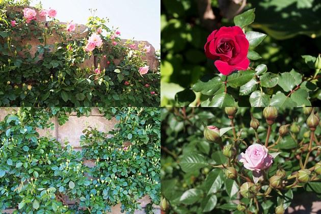 東武トレジャーガーデンのバラ