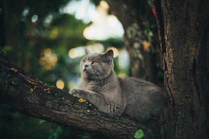木の上でくつろぐロシアンブルー