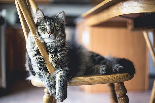 木のいすの上でくつろいでいる長毛猫