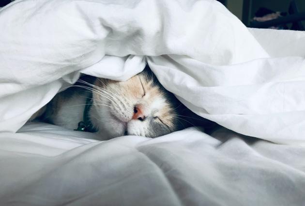 布団の中で眠る猫