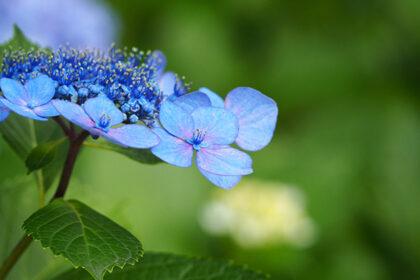 青いガクアジサイ